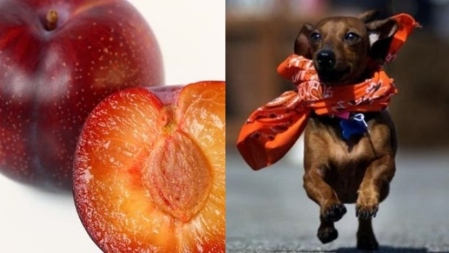 Old World Fest to Dote on Plums 'n Pups