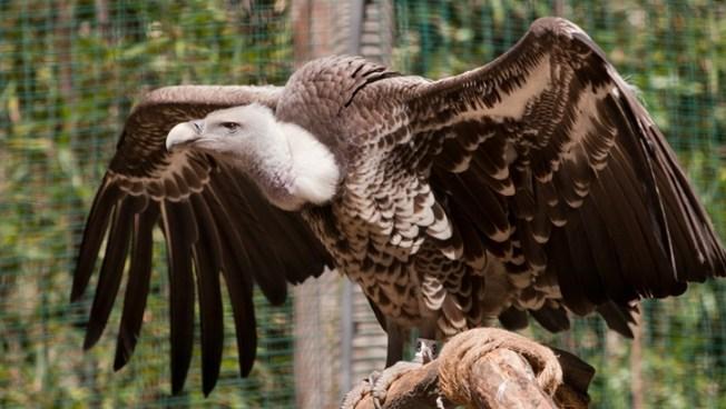 Vultures Rule: Santa Barbara Bird Love Day