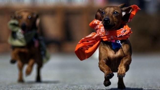 Fast Fall Fidos: Dachshund Races