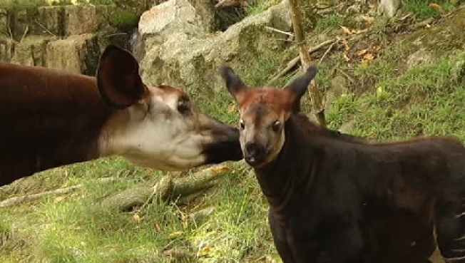 Los Angeles Zoo Welcomes First Okapi Calf