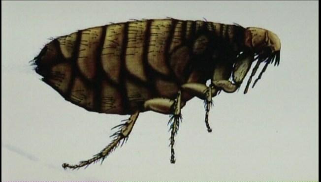 Flea-Borne Typhus Outbreak Among Homeless in Downtown LA