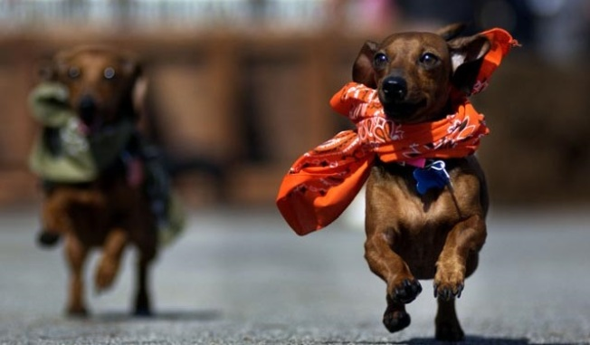 Dachshund Dash: The Wiener Nationals