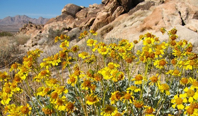 First Flower Report: Joshua Tree Wildflowers