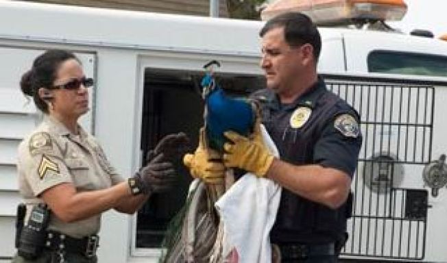 Ailing Peacock Found in Rolling Hills Estates May Have Been Attacked