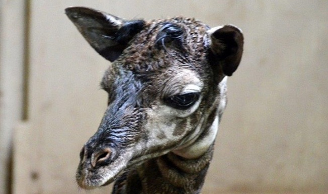 Santa Barbara Baby: A Giraffe Is Born