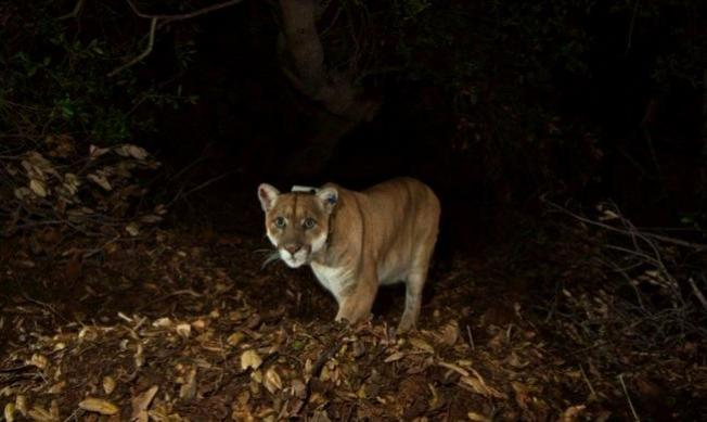 Mountain Lion Love to Purr at Free P-22 Fest