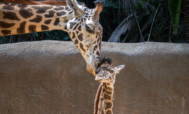 Meet the Los Angeles Zoo's Newest Baby Giraffe