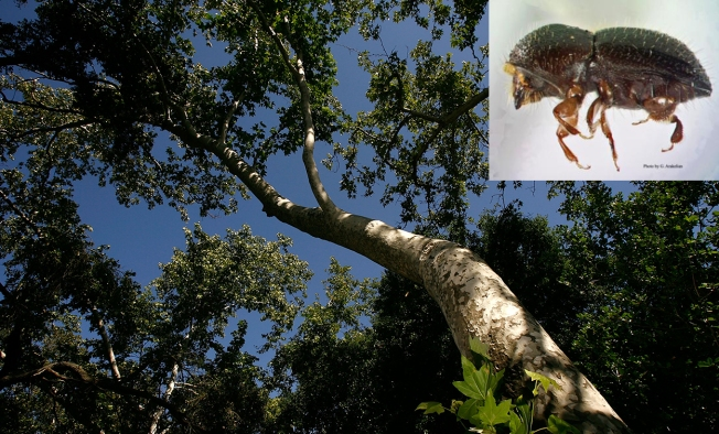 27 million southern california trees at risk of dying leaving
