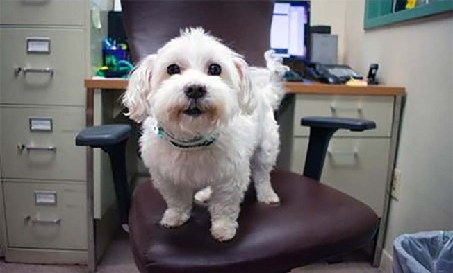 Say Hello to Joey, an Adorable Maltese Who Is Looking for a New Home