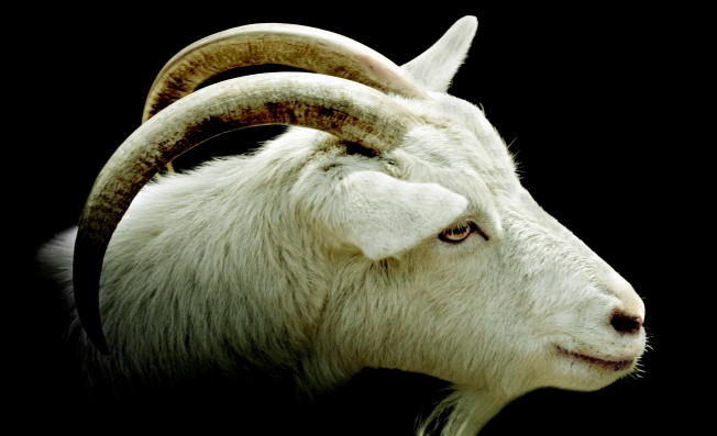 Goat's Head Delivered to Wrigley Field