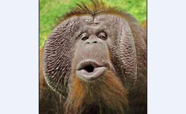 LA Zoo's Orangutan Dies at 31