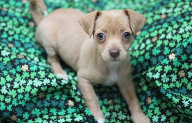 Lucky (and Adoptable) Pets for St. Pat's