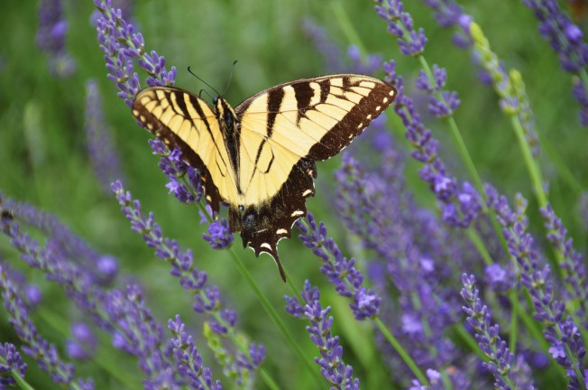 Lavender Month: Ojai's Aromatic June