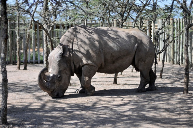 World's Last Male Rhino Getting Help From Tinder Dating App
