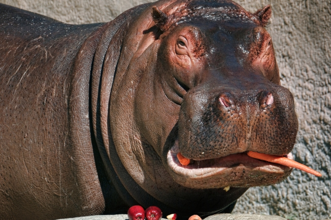 Farewell, Adhama: LA Zoo's Hippo Leaving for Dallas
