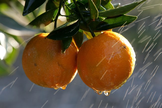 Century-Old Riverside Citrus Collection Gets a $3.5M Donation to Protect Trees