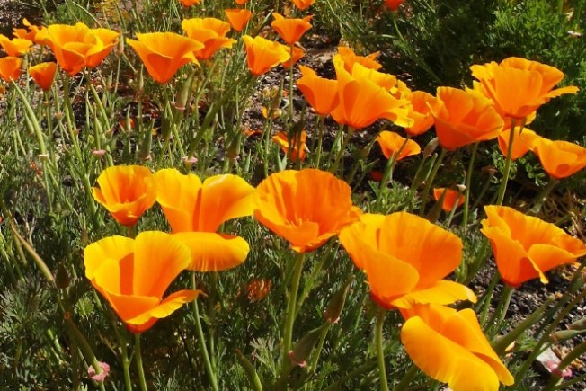 Antelope Poppy Action: Soon, but Not Yet