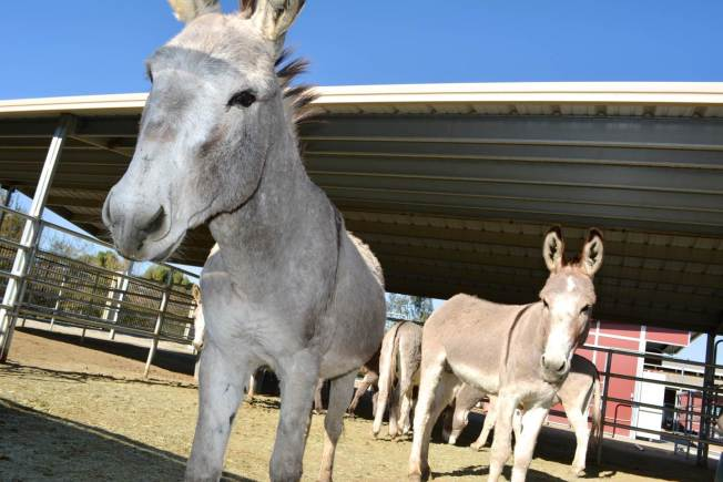 Don't Feed the Wild Donkeys in Riverside County or You'll Be Fined