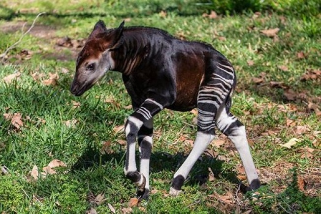 Wee Okapi: Aww Over Amaranta at Safari Park