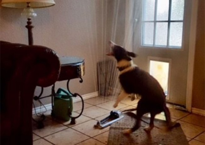 Water-Loving Dog Drags Running Sprinkler Inside to Beat the Texas Heat