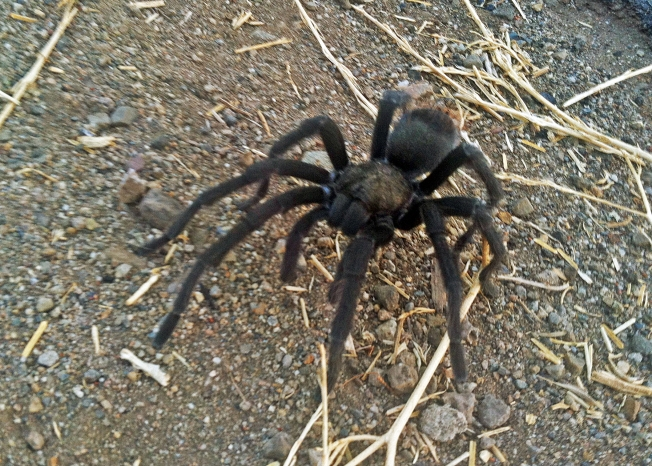 Hikers Warned as Tarantula Mating Season Begins