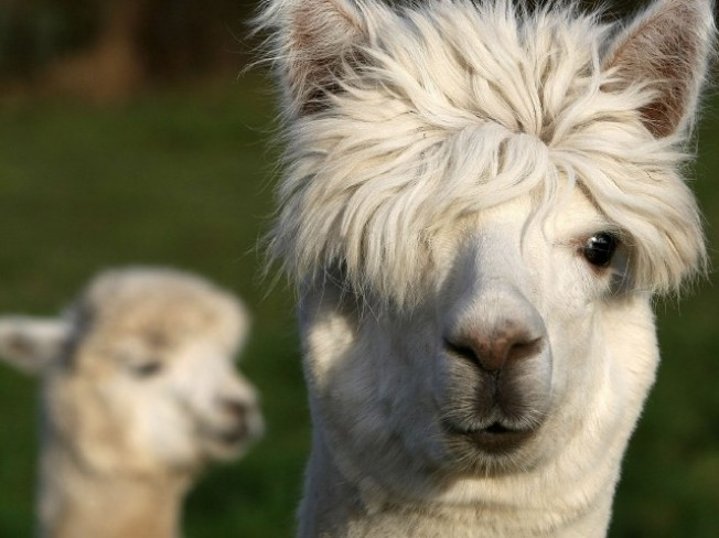 Lovely Llamas, Walk Away Our City Cares