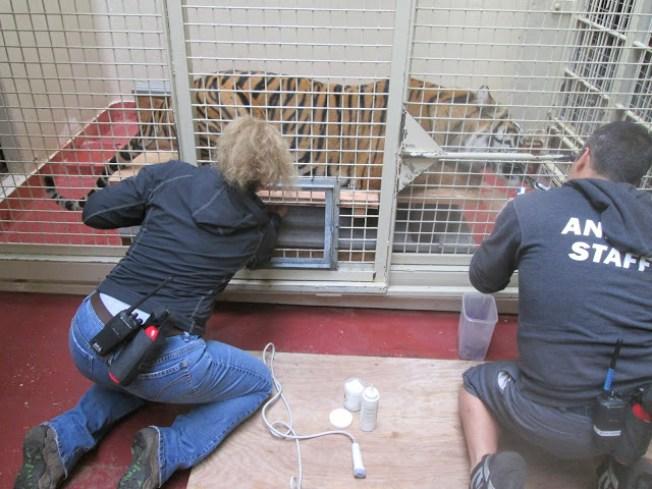 Endangered Sumatra Tiger Born at San Francisco Zoo