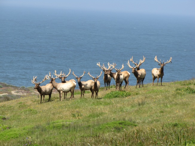 Officials Propose Killing Elk for Cattle in California Park