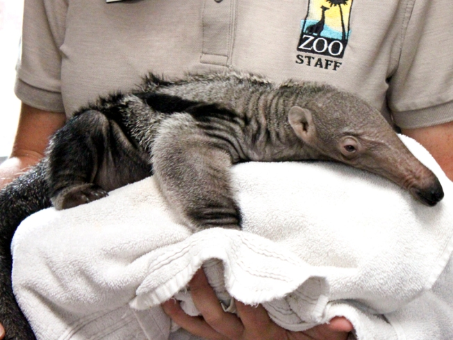 Giant Anteater Born in Santa Barbara