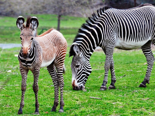 Congratulations, It's a Bouncing Baby Zebra