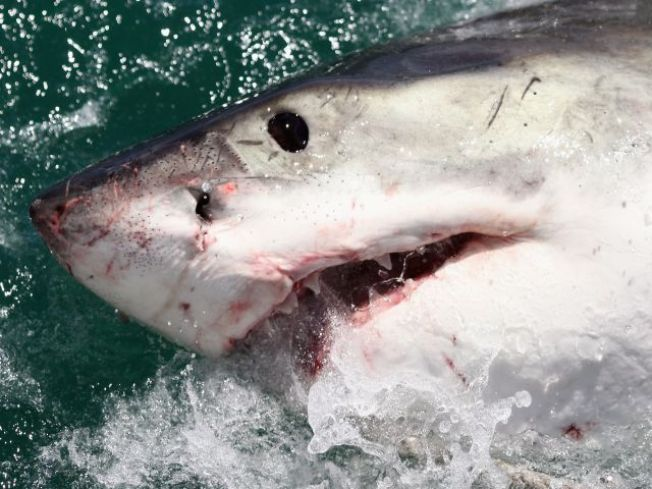 Great White Shark Captured Off Huntington Beach Pier