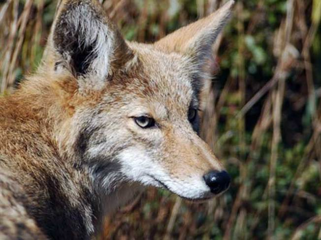 Coyote Situation Gets Ugly in Griffith Park