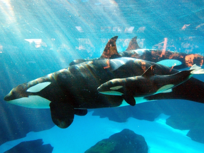 Killer Whale Matriarch At SeaWorld Passes Away