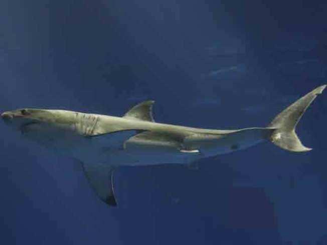 Holiday Great White Shark Warning