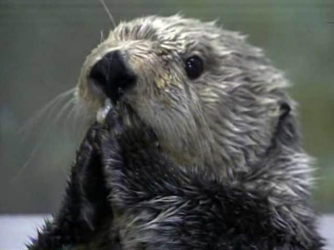 Aquarium to Open BP Sea Otter Exhibit