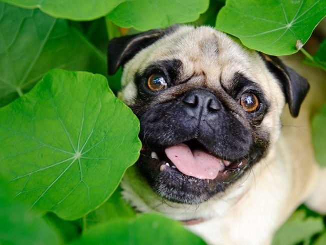 Cali Pug Becomes Earth Day Video Star