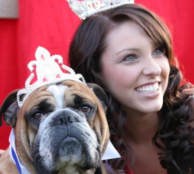 Bulldogs in Crowns