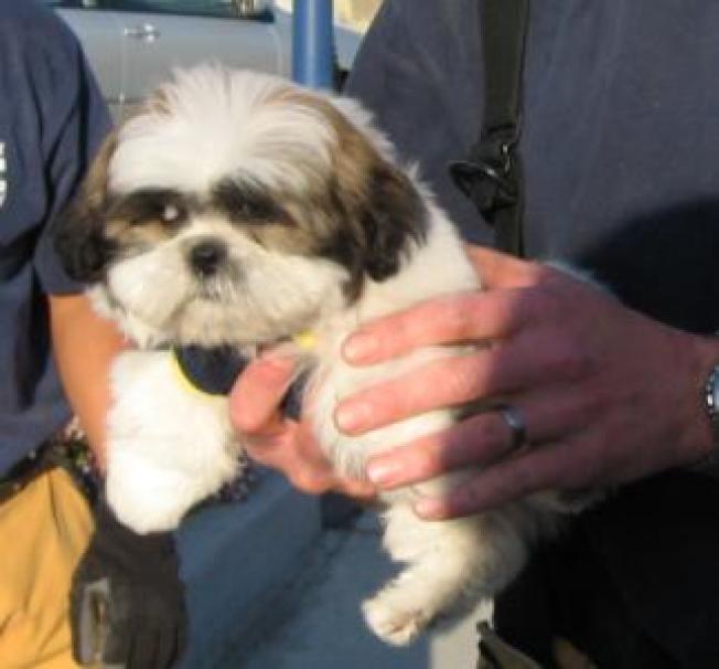 Shih Tzu Puppy Survives Human Attack