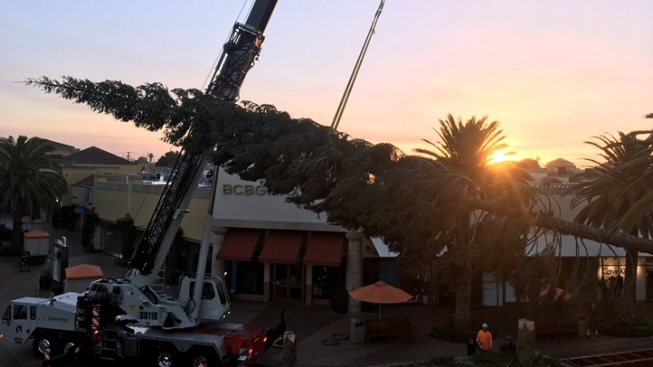 'World's Tallest Live-Cut Tree' Arrives in LA