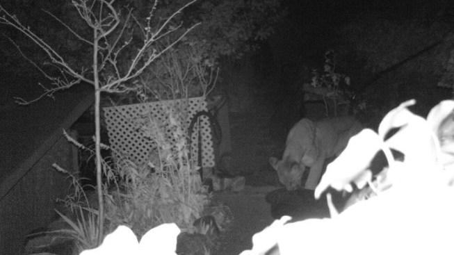 Mountain Lion Attacks Put San Bernardino County Residents on Alert