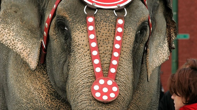 Circus Elephant Hurt in Drive-By Shooting