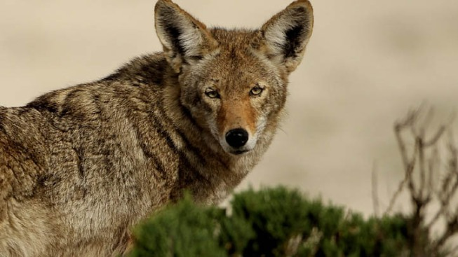Glendale Coyotes Will Not Be Trapped, Killed