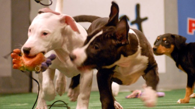 "Animal Shelters are Real Winners of ""Puppy Bowl"""