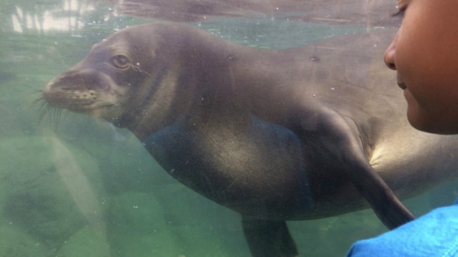 Endangered Hawaiian Monk Seal Population Rises to 1,400