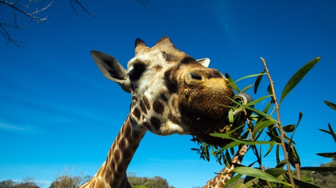 Safari West Celebrates Father's Day/World Giraffe Day