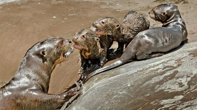 Zoo New: Endangered Giant River Otter Pups