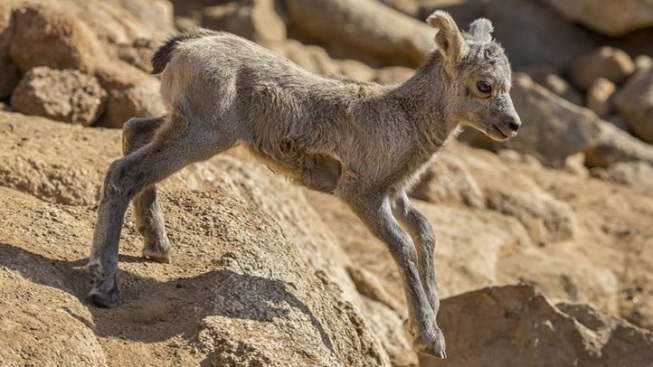 Safari Park: Baby Bighorn Sheep