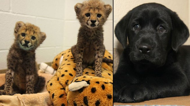 Dallas' New Cheetah Cubs Have a Puppy Companion