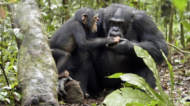 """Chimpanzee"" Helps Chimpanzees"