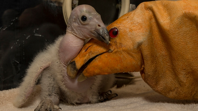 Safari Park Leads Condor Breeding Program